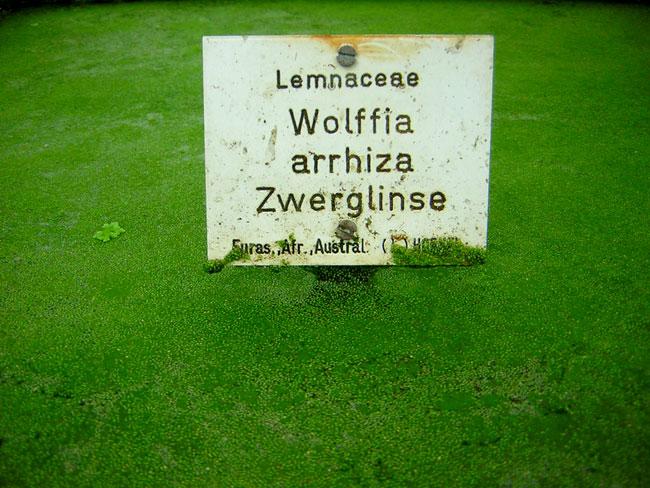 wolffia-arrhiza